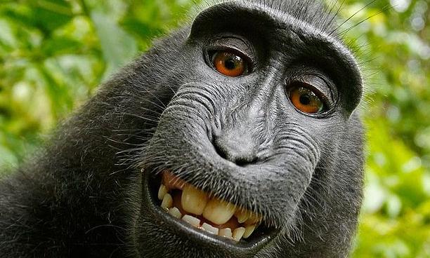 selfie macaca nigra